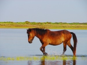 horse-in-the-water-on-shackleford-banks-north-carolina-nc198