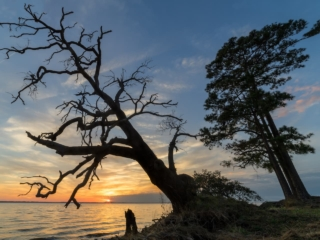 a tree leaning over the neuse river at sunset
