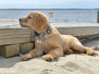 a puppy resting his head on a dock while he lays on the beach