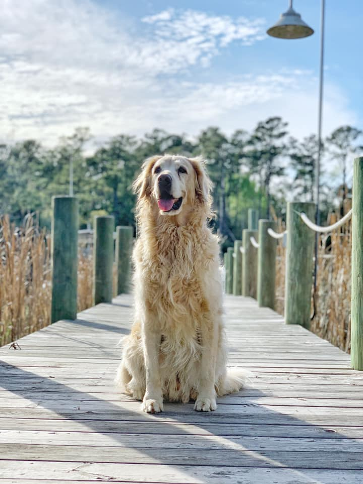 dogs on docks, golden retriever