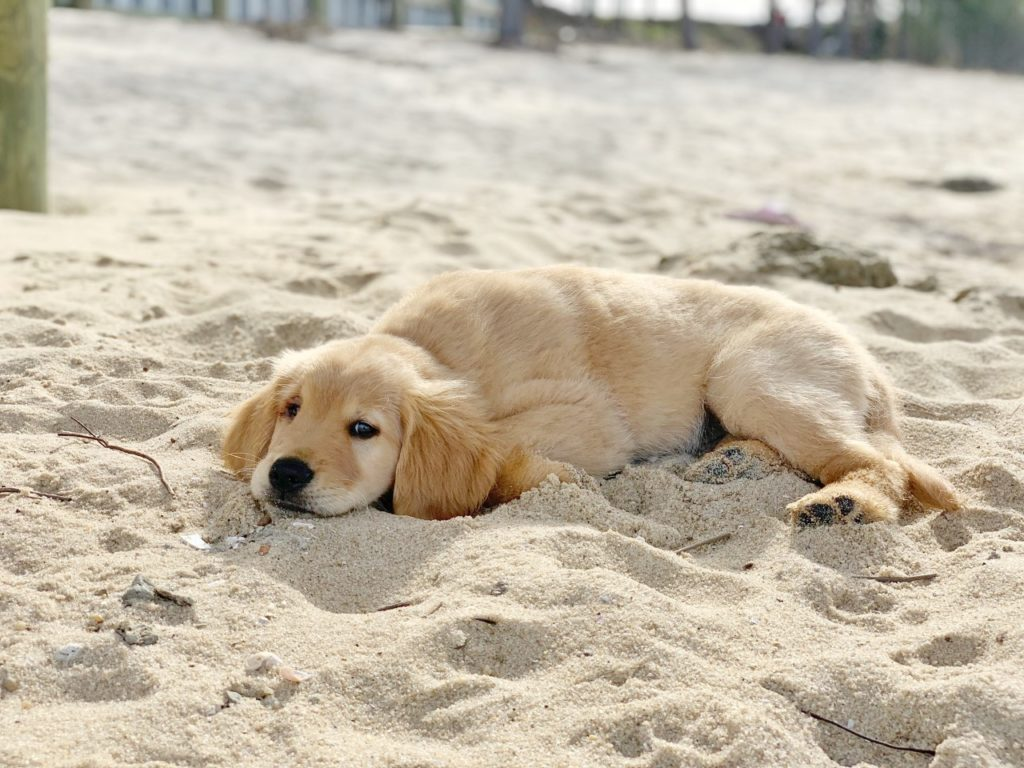 a golden retriever puppy laying in the sand