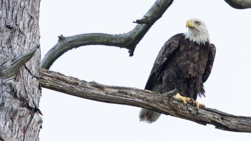 Bald Eagle on the Neuse River