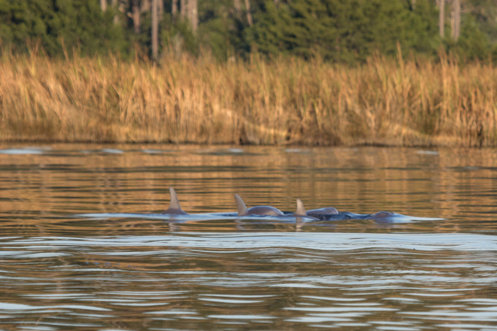 Dolphins breaching the water in a Pamlico County, NC creek.