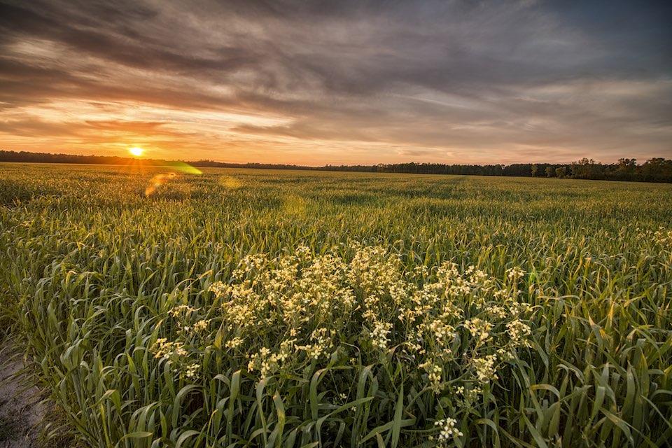 Arapahoe, NC farm field.
