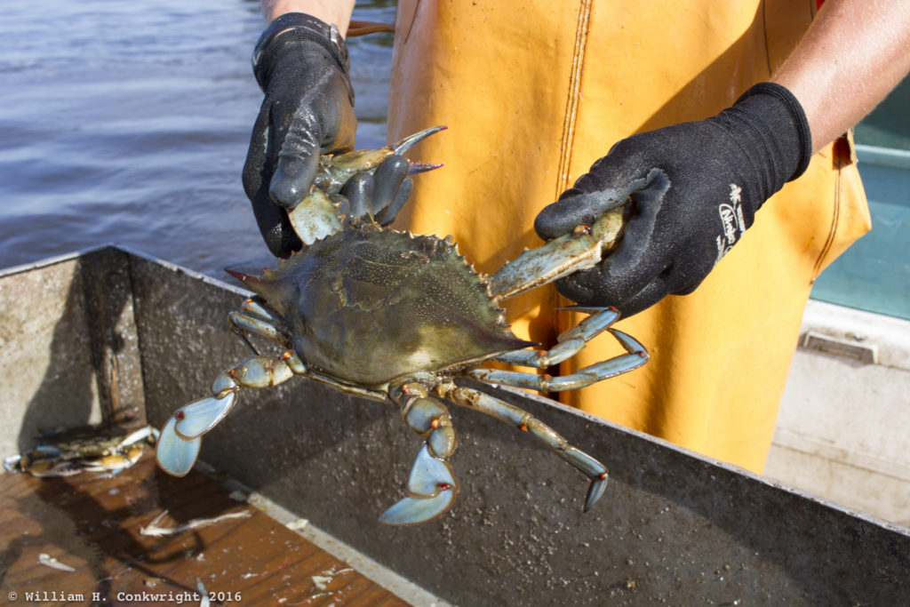 A big blue crab caught in the Neuse River, Pamlico County, NC.