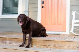 Chocolate lab sitting on the porch at the All Joy cottage home at Arlington Place.