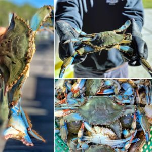 Blue crabs caught in the Neuse River.