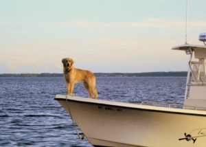 pet of the month - golden retriever