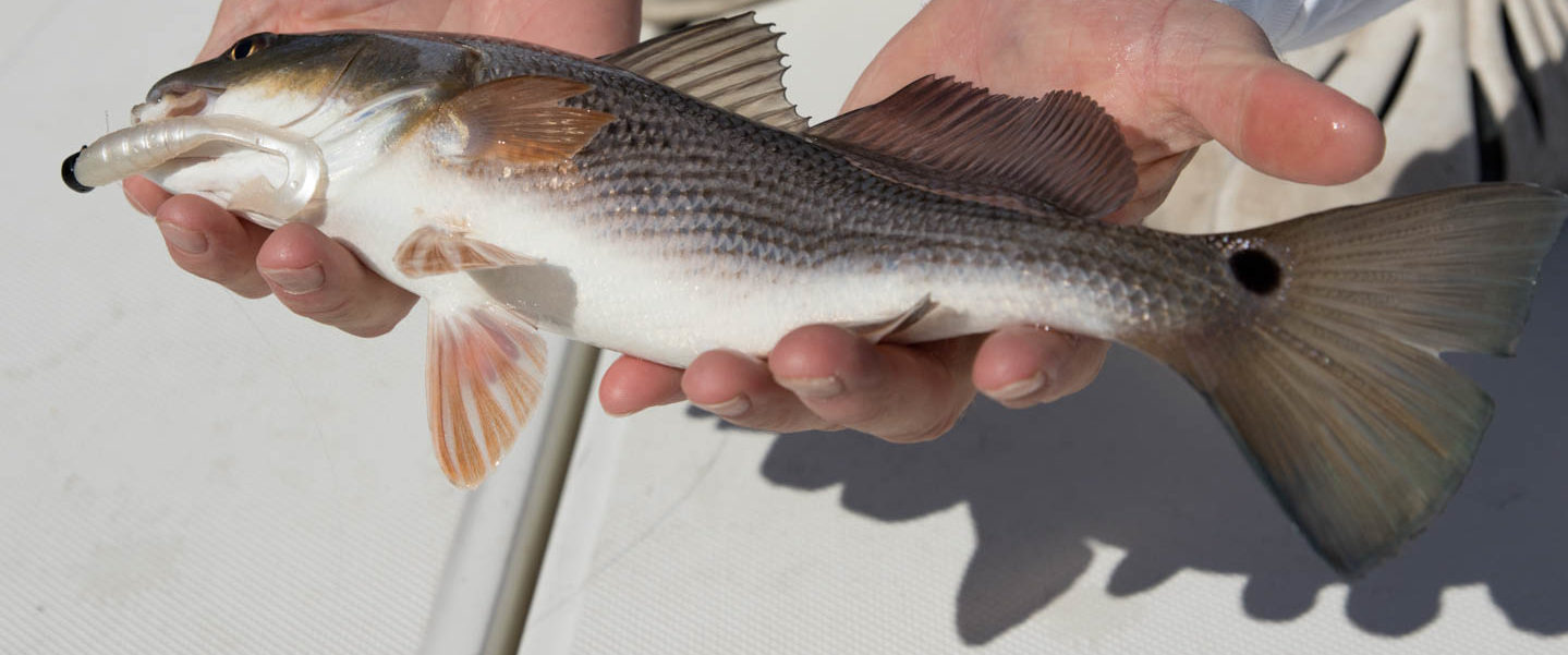 Redfish, also called Puppy Drum, are caught in the creeks around Arlington Place.