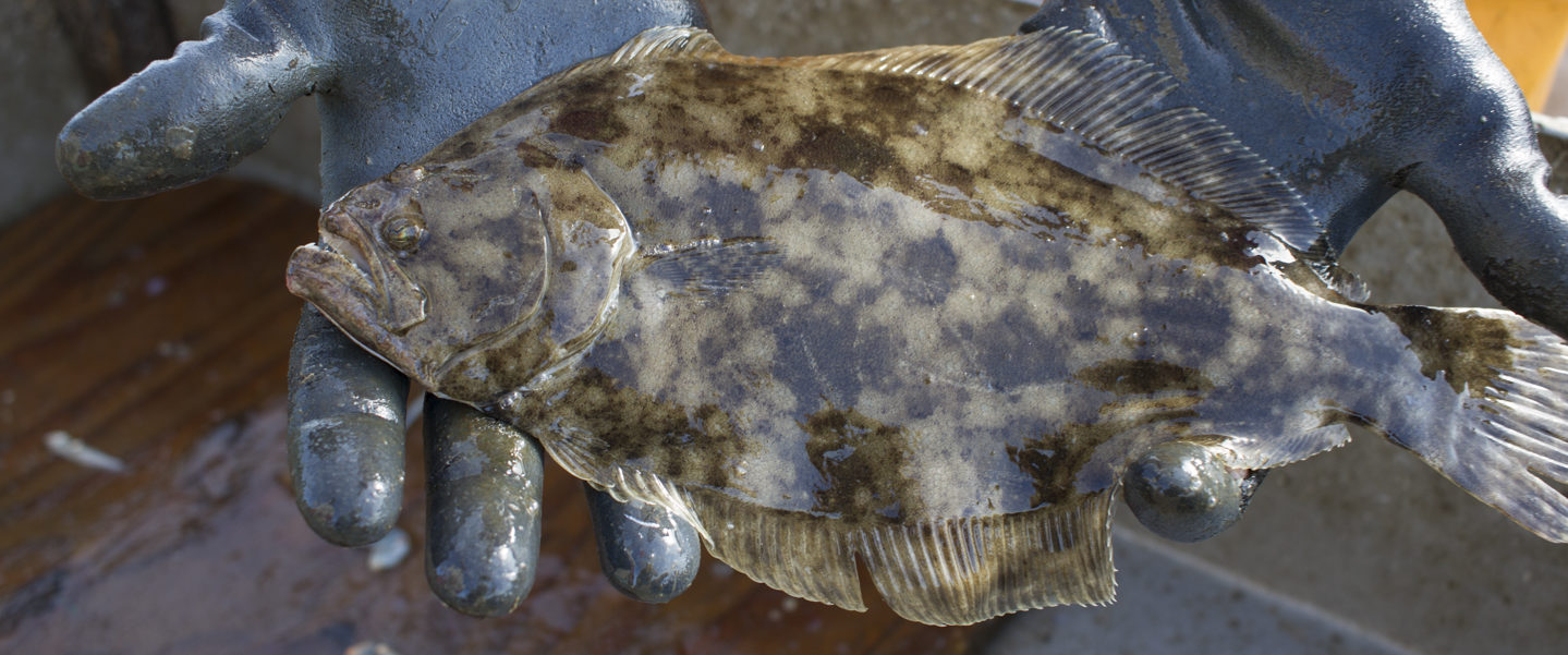 Flounder fish caught in the Neuse River near Arlington Place.