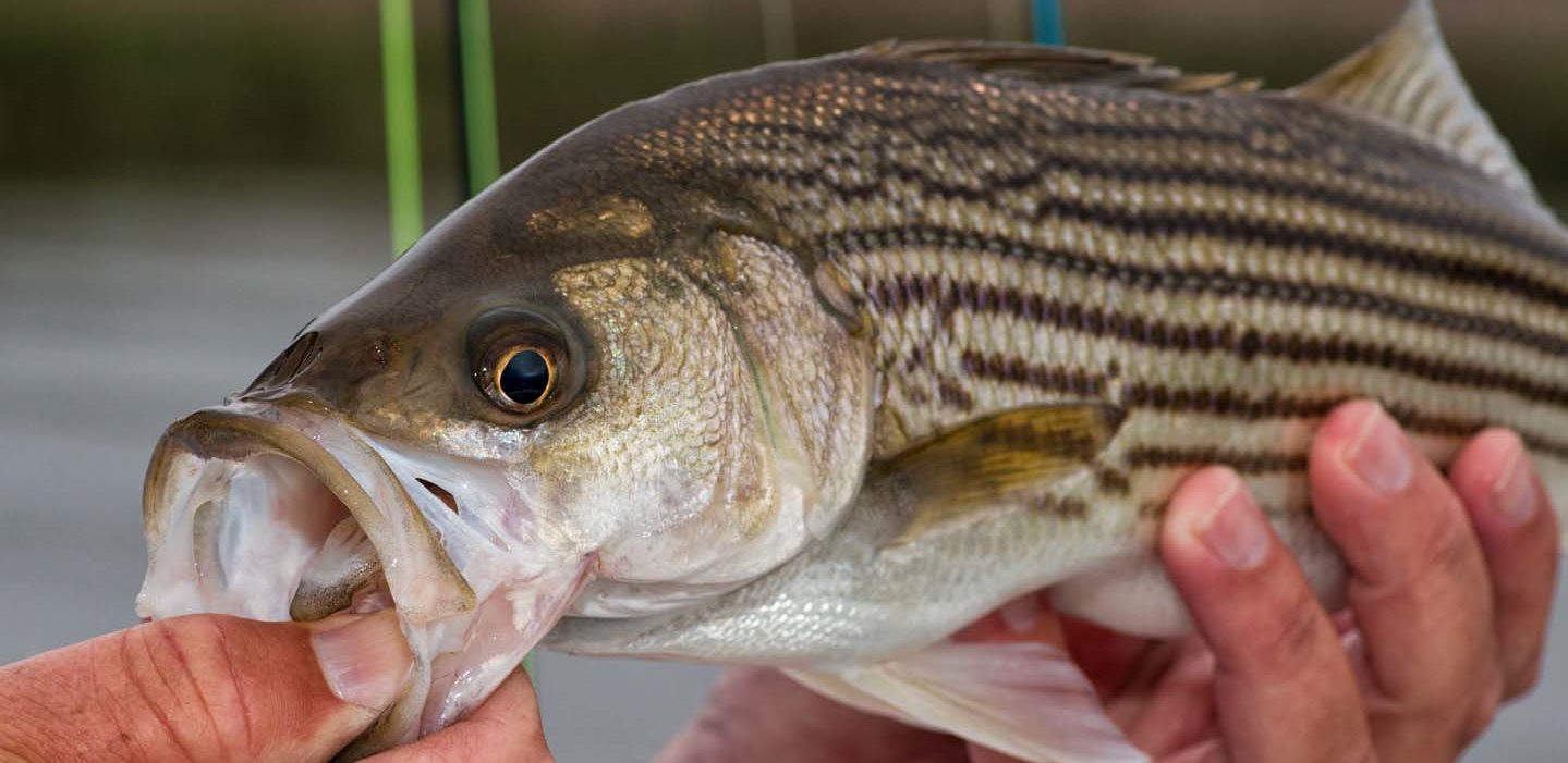 Striped bass caught in the Neuse River near Arlington Place.