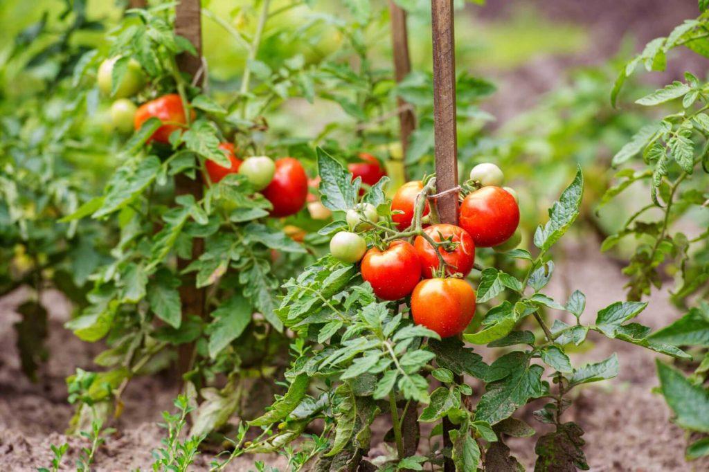 tomato pie plants